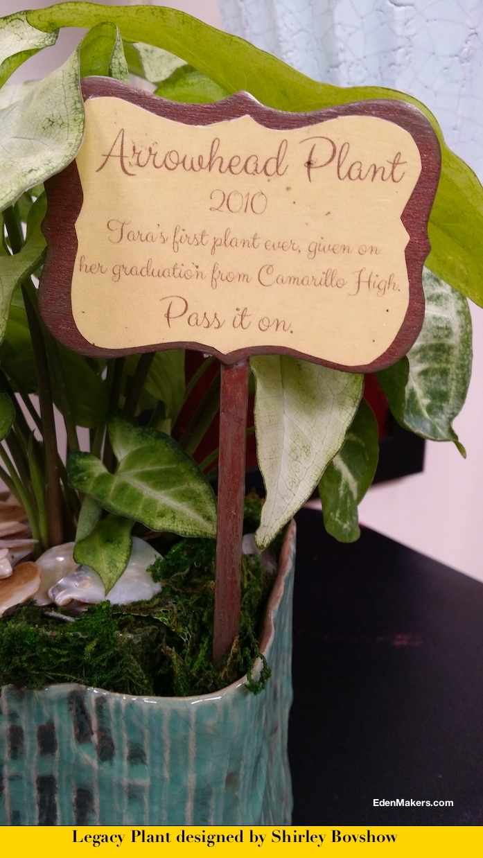container-arrowhead-plant-nephtitis-legacy-plant-designed-shirley-bovshow