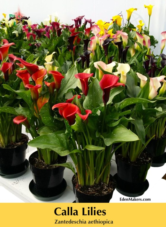 Calla-lily-plants-and-flowers-in-red-pink-white-can-be-poisonous-garden-expert-shirley-bovshow