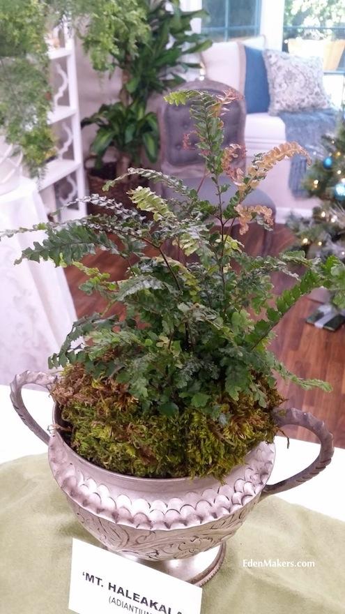adiantum-hispidulum-mt-haleakala-fern-silver-planter-edenmakers-blog-shirley-bovshow
