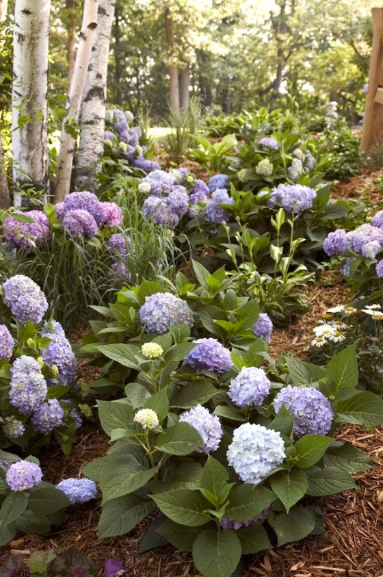 mophead-hydrangea-Endless-Summer-Hydrangea-The-Original-.EdenMakers-blog