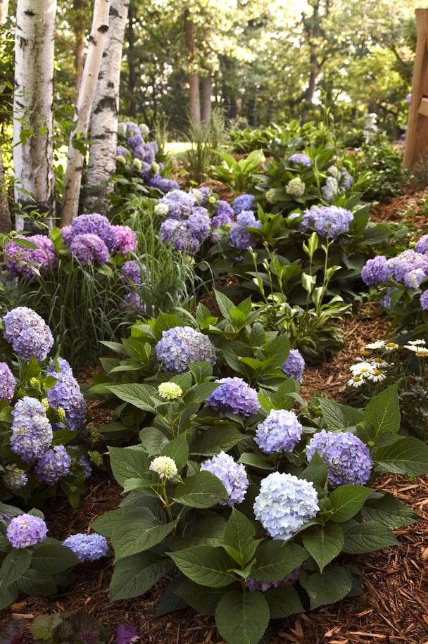 mophead-hydrangea-Endless-Summer-Hydrangea-The-Original-.EdenMakers-blog