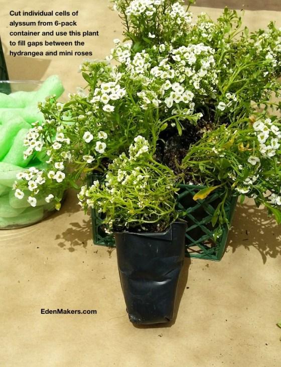 sweet-alyssum-plant-