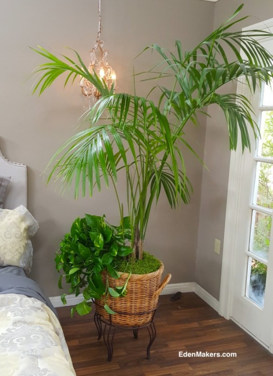 arge-kentia-palm-howea-in-basket-indoor-houseplant-natural-air-cleaner-edenmakers-blog