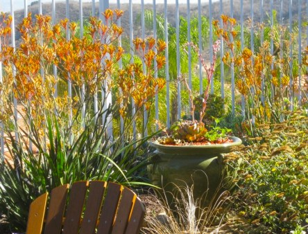 orange kangaroo paws