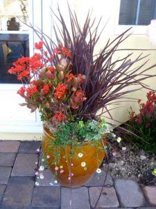 phormium kalanchoe and Santa Barbara daisy in container