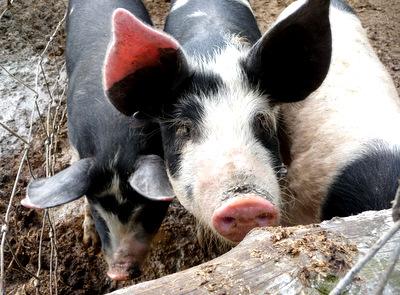 Sunnyside Farm Pigs