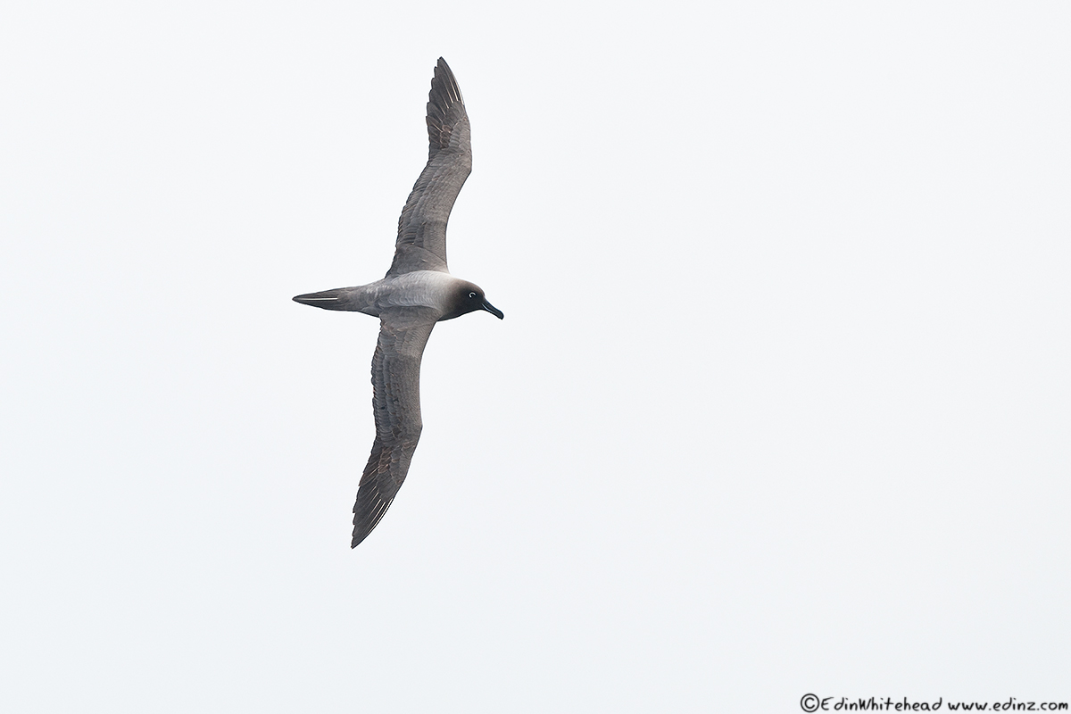 Light-Mantled_albatross_iNderby_tw7_5604-Edit6x4Web