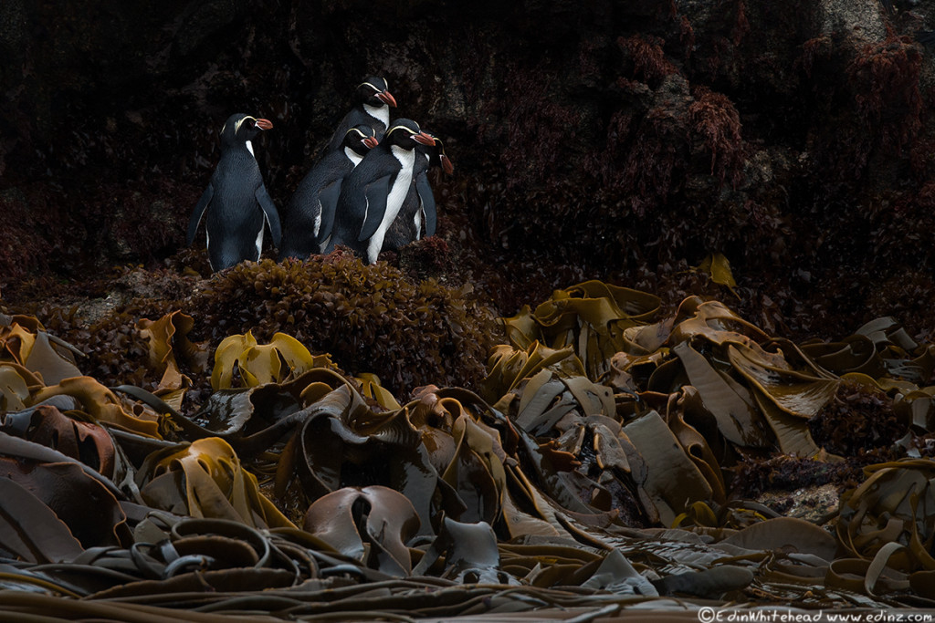 snares_crested_penguins_tw7_3591-edit6x4web.