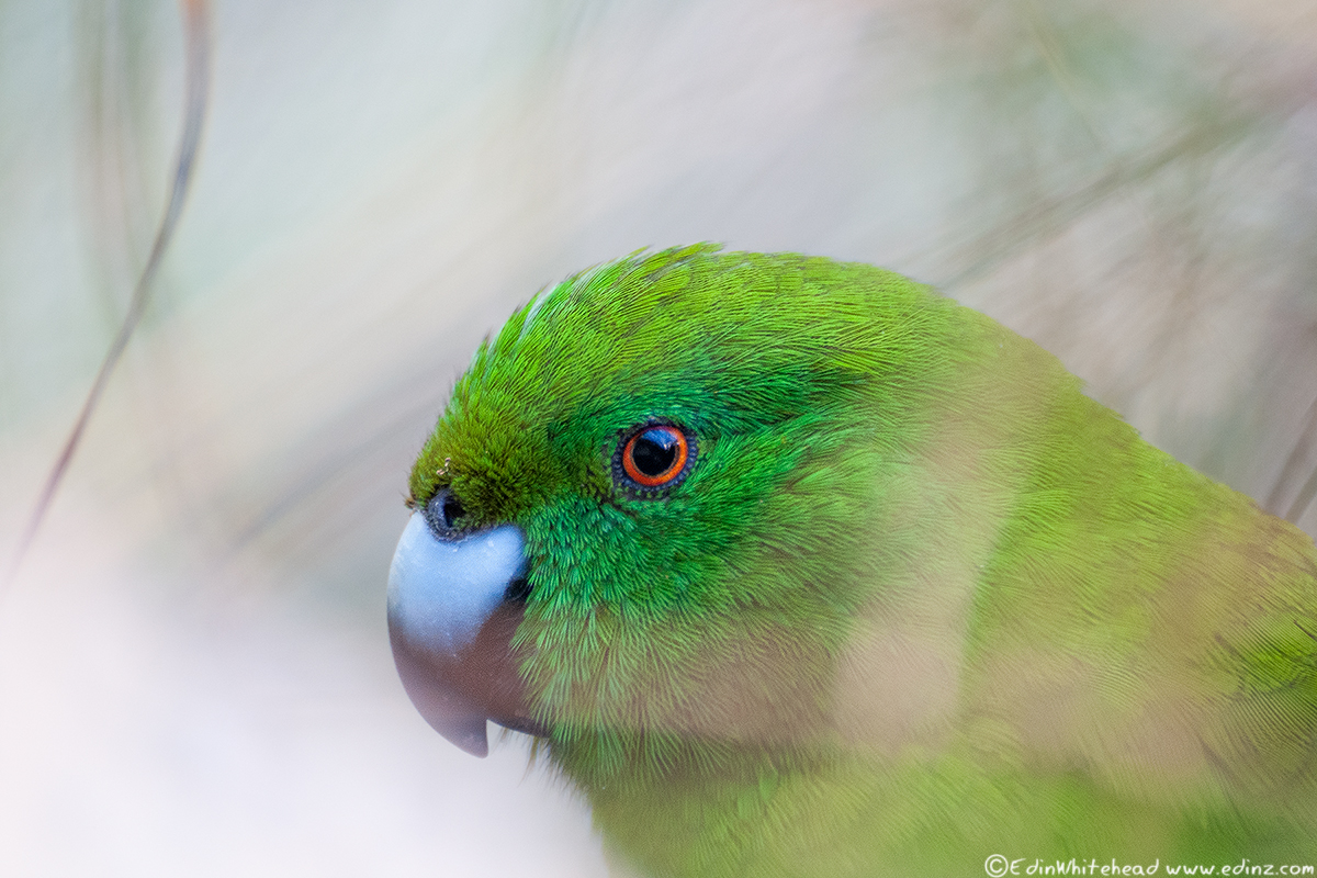 ANTIPODES_PARAKEET_EAW_8246-EDIT6x4Web.