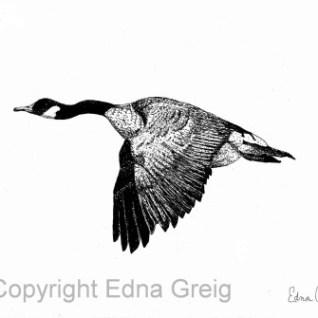 Branta canadensis Canada Goose
