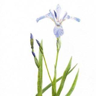 Iris versicolor Larger Blue Flag Iris