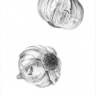 Allium sativum Garlic Copyright Edna Greig