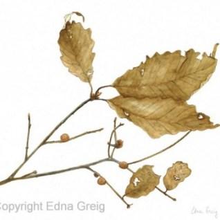 Quercus prinus Chestnut Oak Copyright Edna Greig