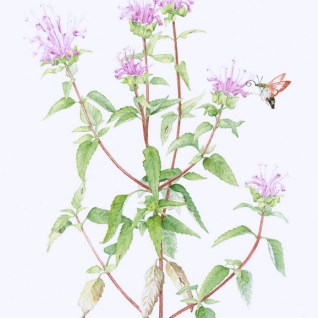 Monarda fistulosa Wild Bergamot with Hummingbird Clearwing Moth Copyright Edna Greig
