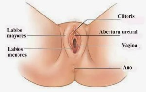 Organos-Externos-Aparato-Reproductor-Femenino