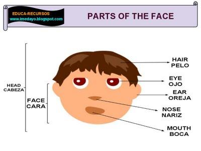 partes de la cabeza