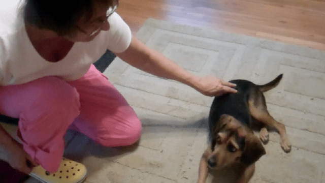 "Picture of a small black and tan dog leaning away and giving ""whale eye,"" where a small crescent of white shows at the edge of her eyes, as a woman in pink pants and a white tee shirt reaches out to pet her."