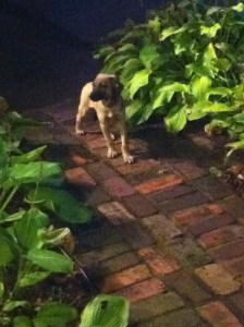 tan puppy on a brick walk. She is leaning back and down, and her tail is tucked and her ears are back