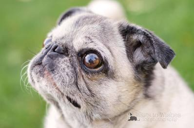 Annabelle came as a foster for Pugalug Pug Rescue. She was 14 and a half. Family had had her for her whole life but the owners were older. One had passed away and the other was going into a retirement home and she couldn't go. She was likely deaf from age.