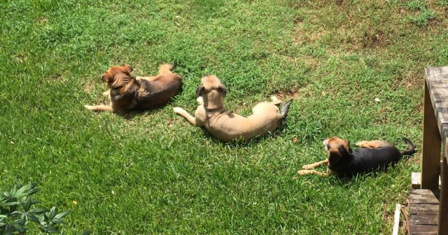 Three dogs lying on the grass as seen from above. It is local enhancement, imitation, or just that they agree on the best place for sun baths?
