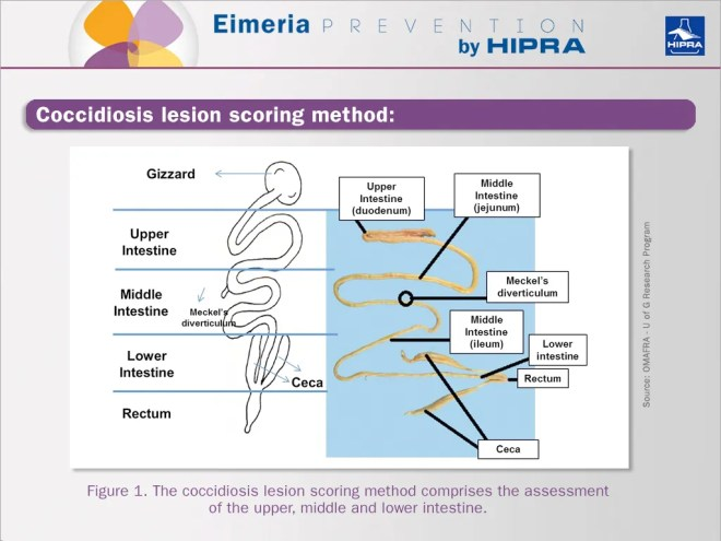 coccidiosis-lesion-scoring-method