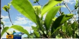 Gobierno confirma que hay pausa en la erradicación de coca en La Asunta