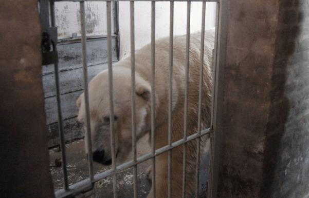Foto: Arturo, el último oso polar en cautiverio en Argentina / clarin.com