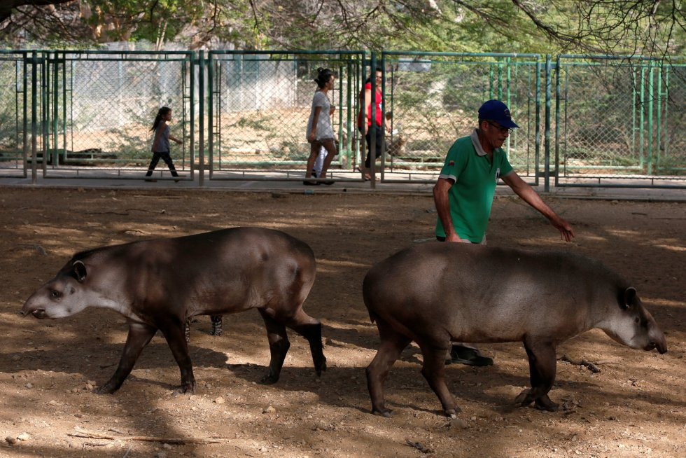 Un trabajador del zoo Paraguana de Punto Fijo, en Venezuela, camina junto a los tapires.