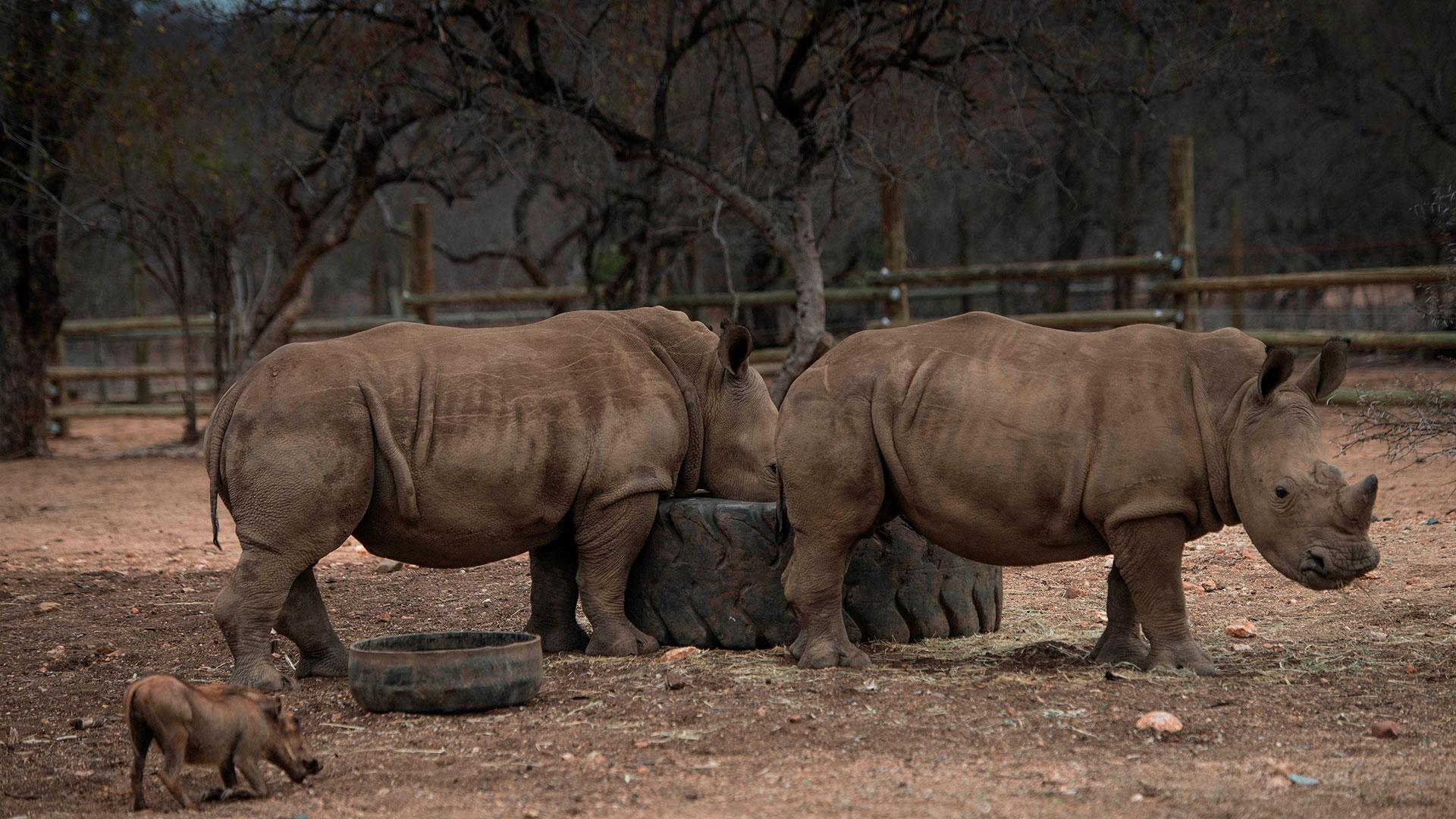 En 2015, cerca de 1.200 rinocerontes fueron blanco de la caza ilegal en Sudáfrica (AFP)