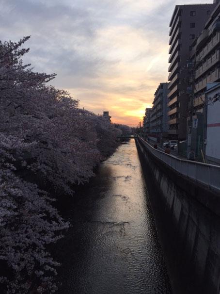 syakusakura14