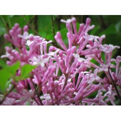 Small Crop Of Dwarf Korean Lilac