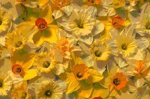 daffodilpsp1