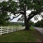Oak tree, Warrenton Texas