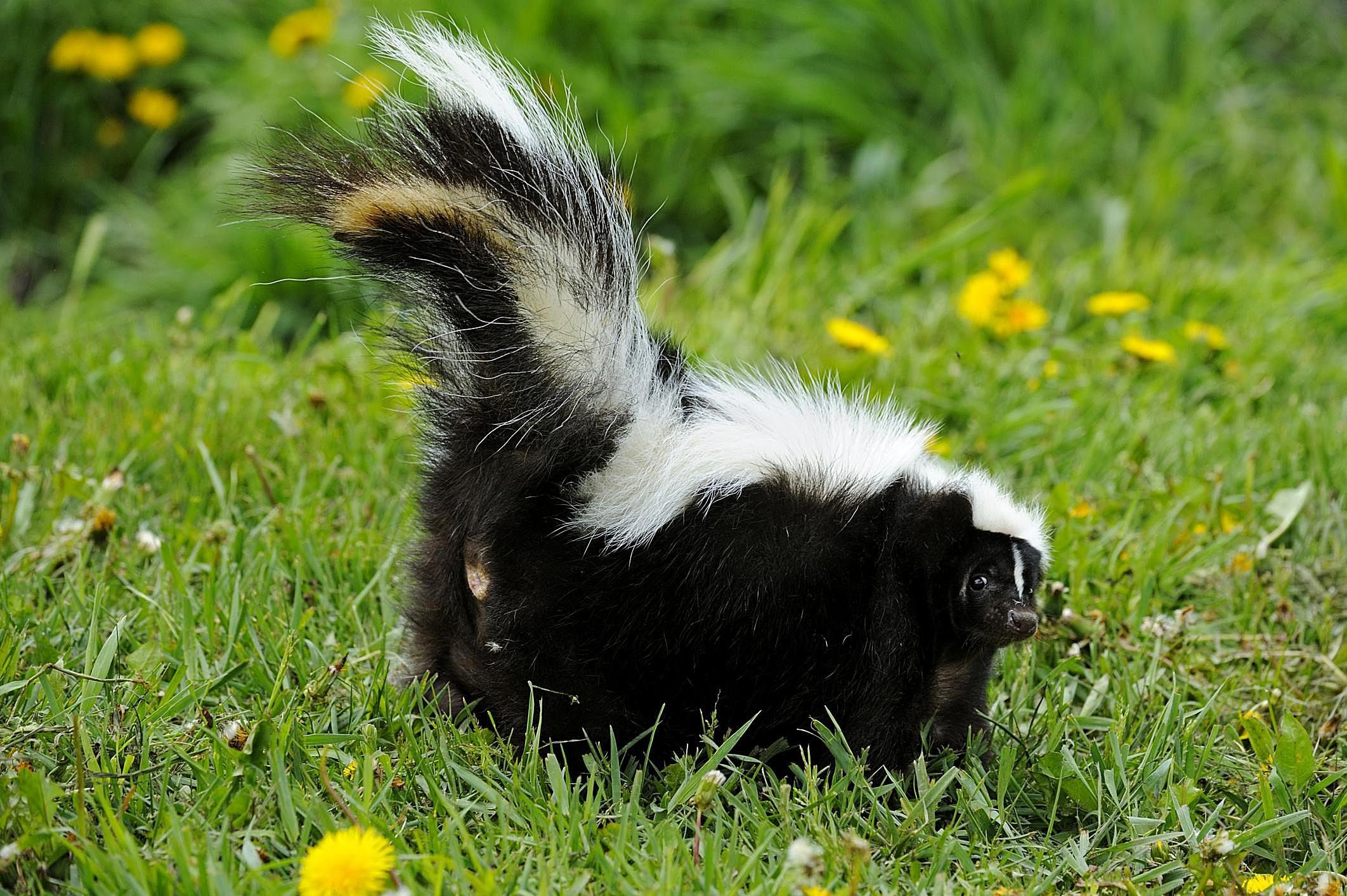 Rousing Skunk Skunk Useful Information S Can Skunks Climb Trees Can Skunks Climb Ken Wire houzz 01 Can Skunks Climb