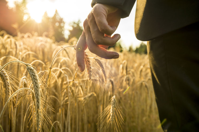 42872461 - businessman walking through a golden wheat field touching an ear of ripening wheat at sunset backlit by the golden sun. conceptual of turning back to nature for inspiration, energy and peace of mind.