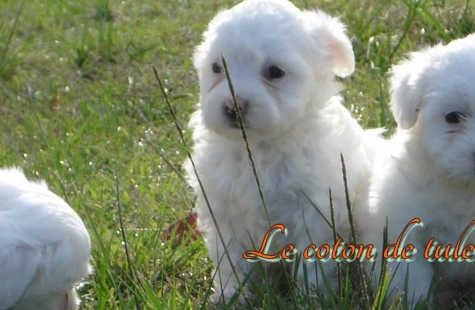 Elevage de chiens coton de tulear