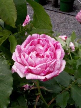 rosier-ancien-gros-provins-767ebf63e