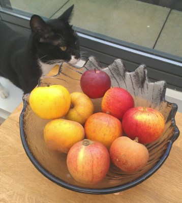 Kisu the Elitistreview cat has an interest in heritage apples