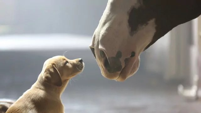 Budweiser-Puppy-Love-commercial-jpg