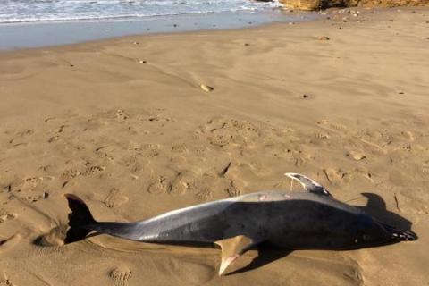 A-propos du dauphin échoué sur la plage d'El-Jadida