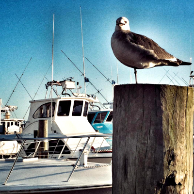 Destin Harbor Seagull