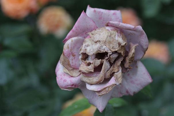 τριαντάφυλλο-κρανίο