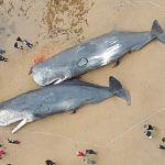 Καταρρίπτεται – Τι συνέβη όταν μια φάλαινα φυσητήρας έπεσε σε μια ξεχασμένη νάρκη και βαριά τραυματισμένη βγήκε στην ακτή…