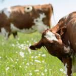 Αγελάδα με τάπα;