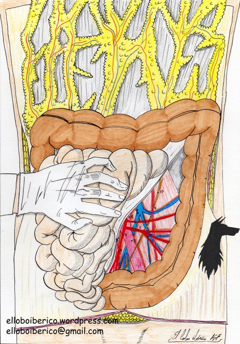 Anatomia vascularización intestino