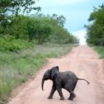 Fotos Parque Kruger Sudáfrica, elefantito cruzando