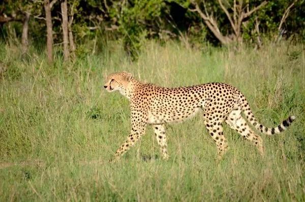 Fotos Parque Kruger Sudáfrica, guepardo