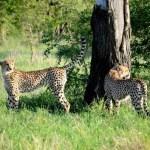 Fotos Parque Kruger Sudáfrica, guepardos