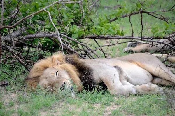 Fotos Parque Kruger Sudáfrica, león