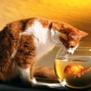 Un gato y un pez exotico-Feliway